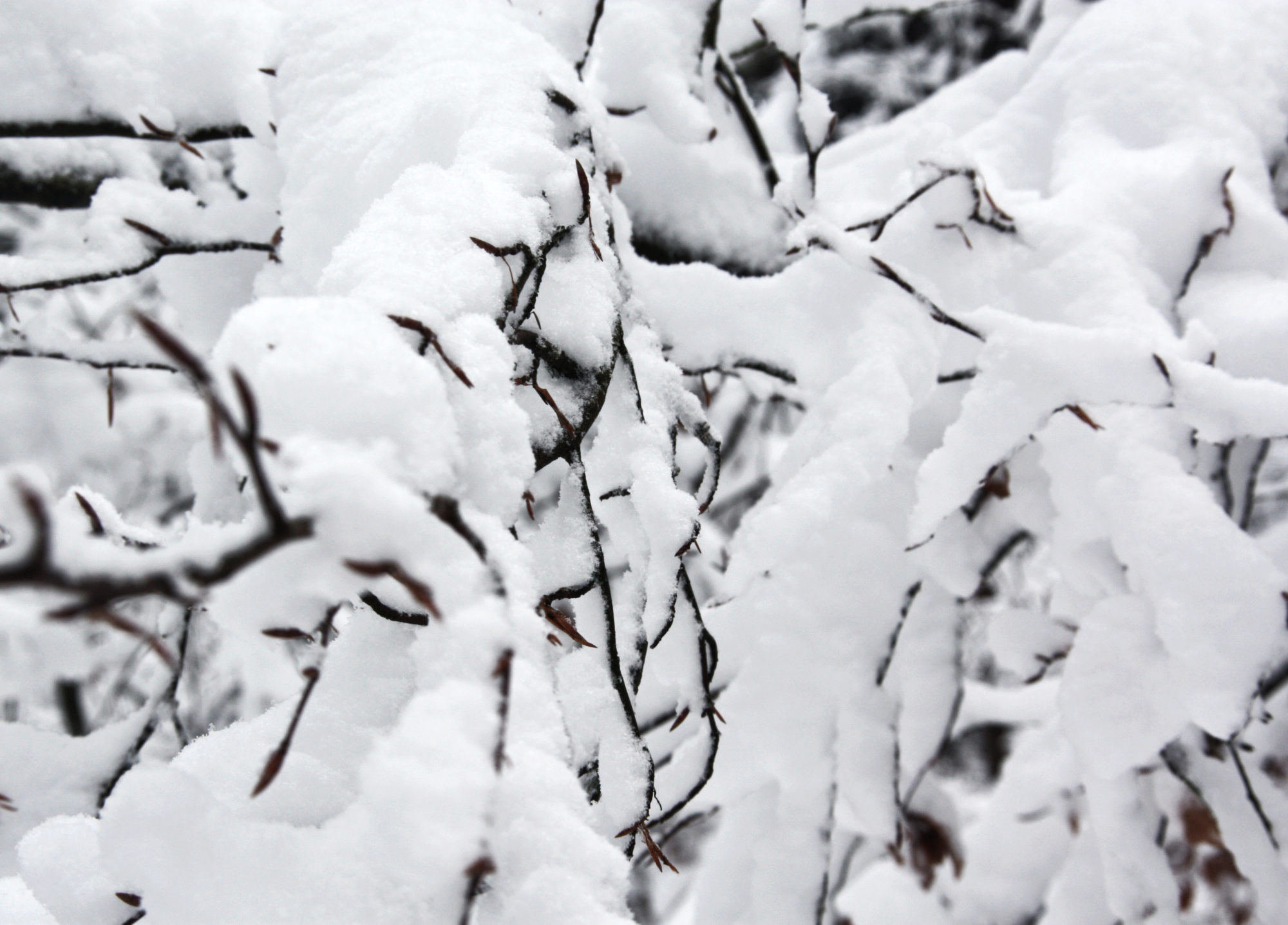 Verschneite Zweige