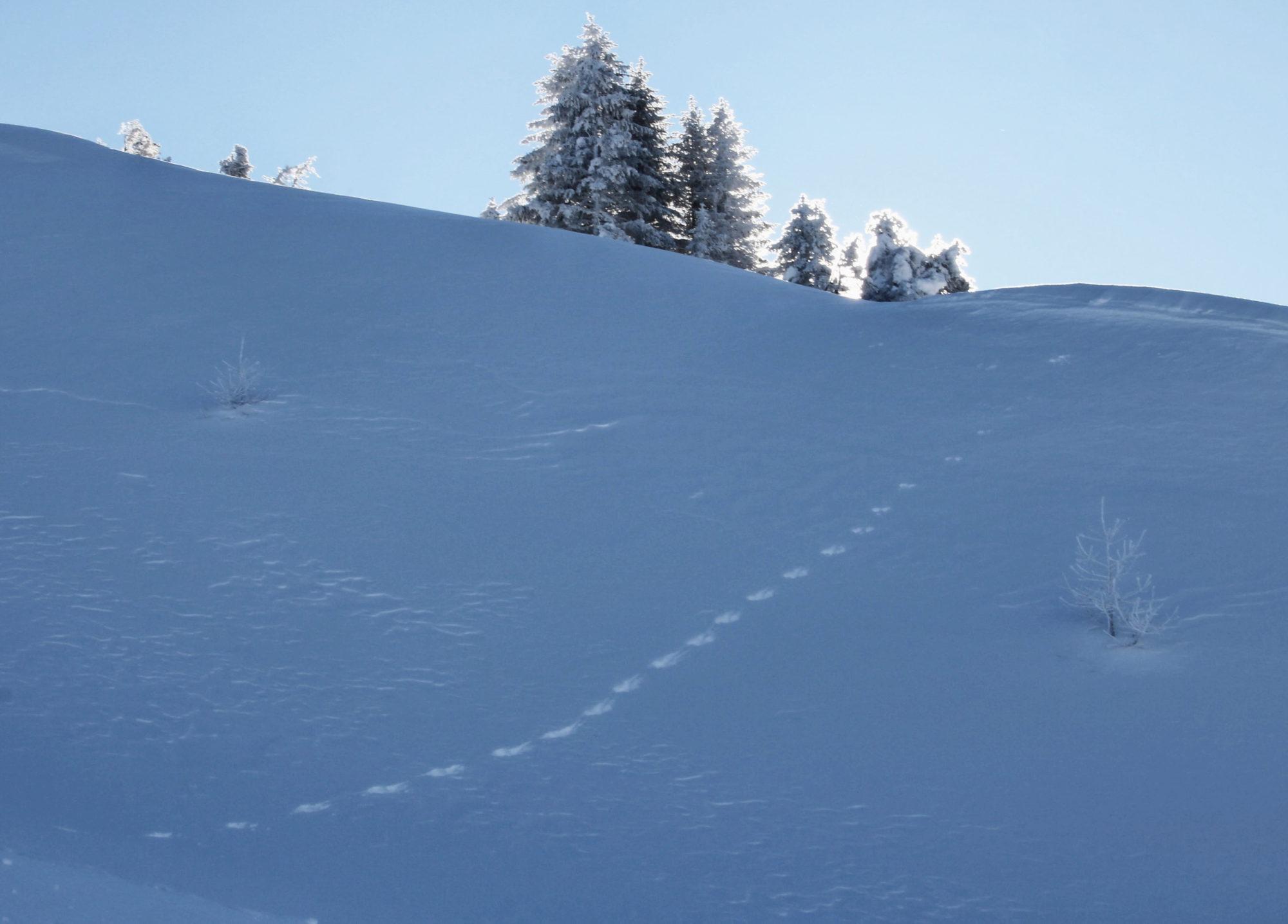 Auch Schneehasen spuren ihren Weg