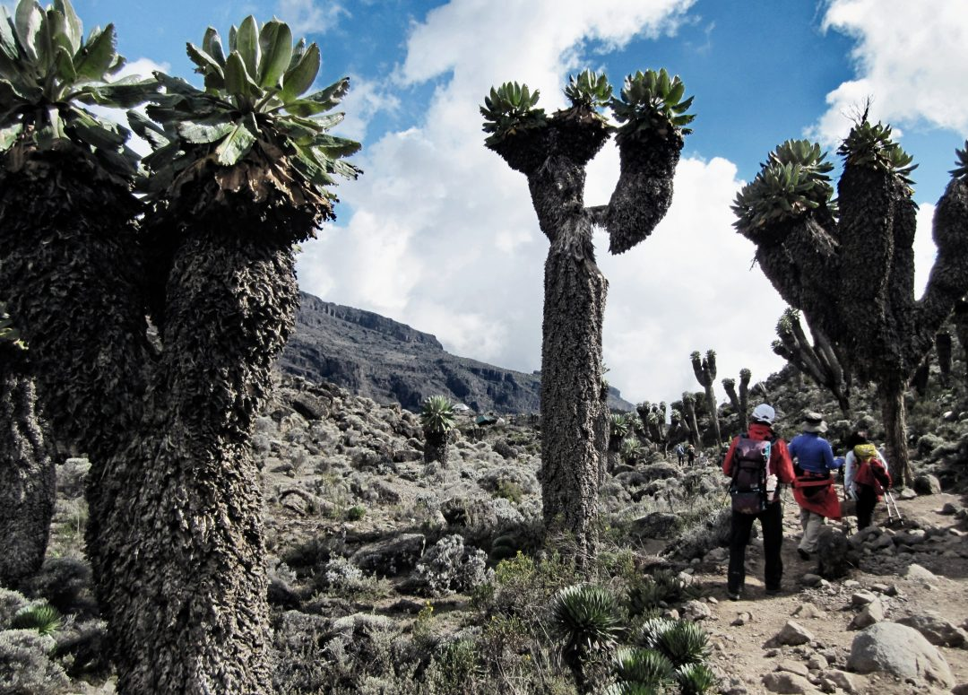 Senecien, Kilimandscharo, Kilimandscharo besteigen, Tansania, Afrika, Kilimandscharo Tour, Erfahrungsbericht, Machame Route