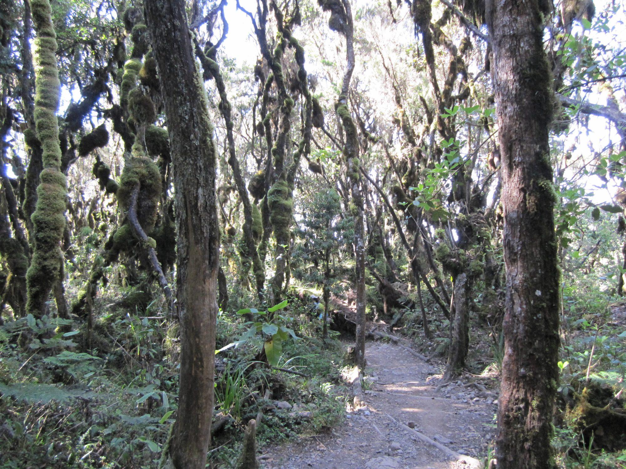 Regenwald, Abstieg Mweka Gate, Kilimandscharo, Kilimandscharo besteigen, Tansania, Afrika, Kilimandscharo Tour, Erfahrungsbericht, Machame Route