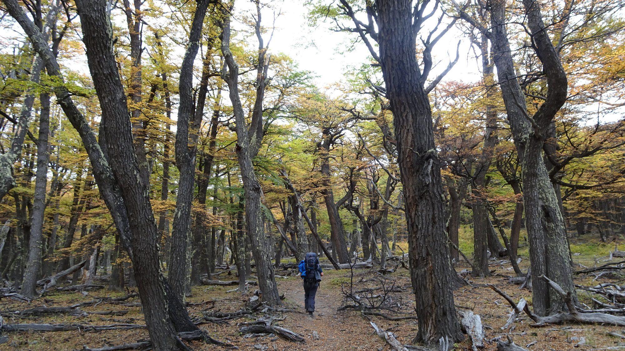Herbstwälder am Huemul Circuit, El Chaltén, Patagonien, Argentinien, Wanderung, Trekking