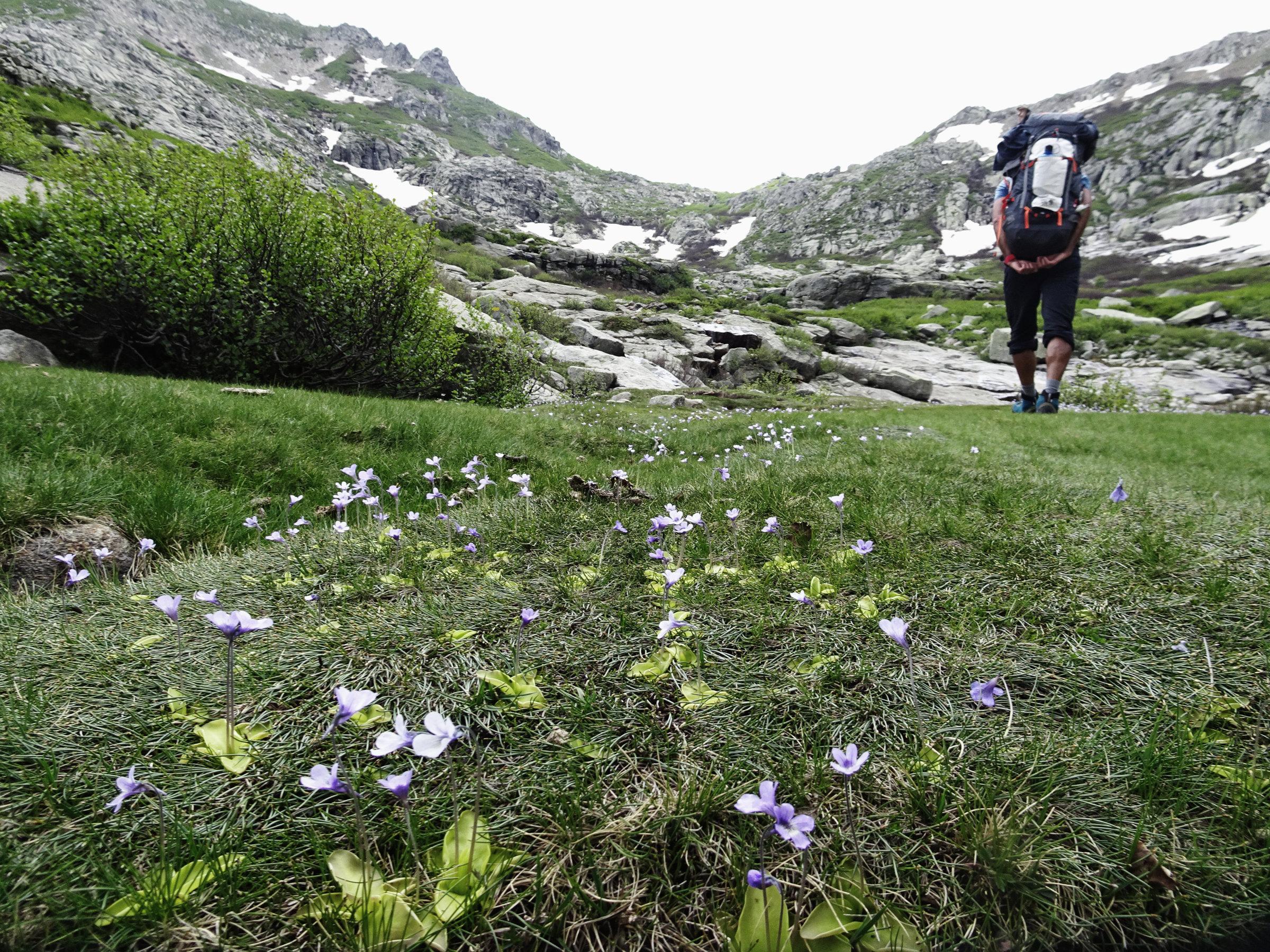 Korsische Fettpflanzen (fleischfressende Pflanzen), Korsika, GR20 Weitwanderweg, Wandern, Berge, Frankreich