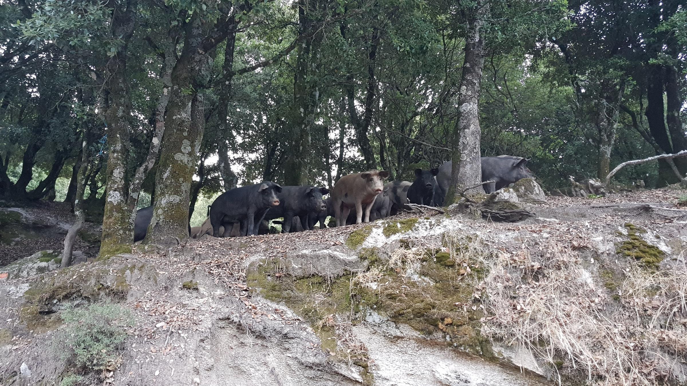 Korsische Schweine , Korsika, GR20 Weitwanderweg, Wandern, Berge, Frankreich