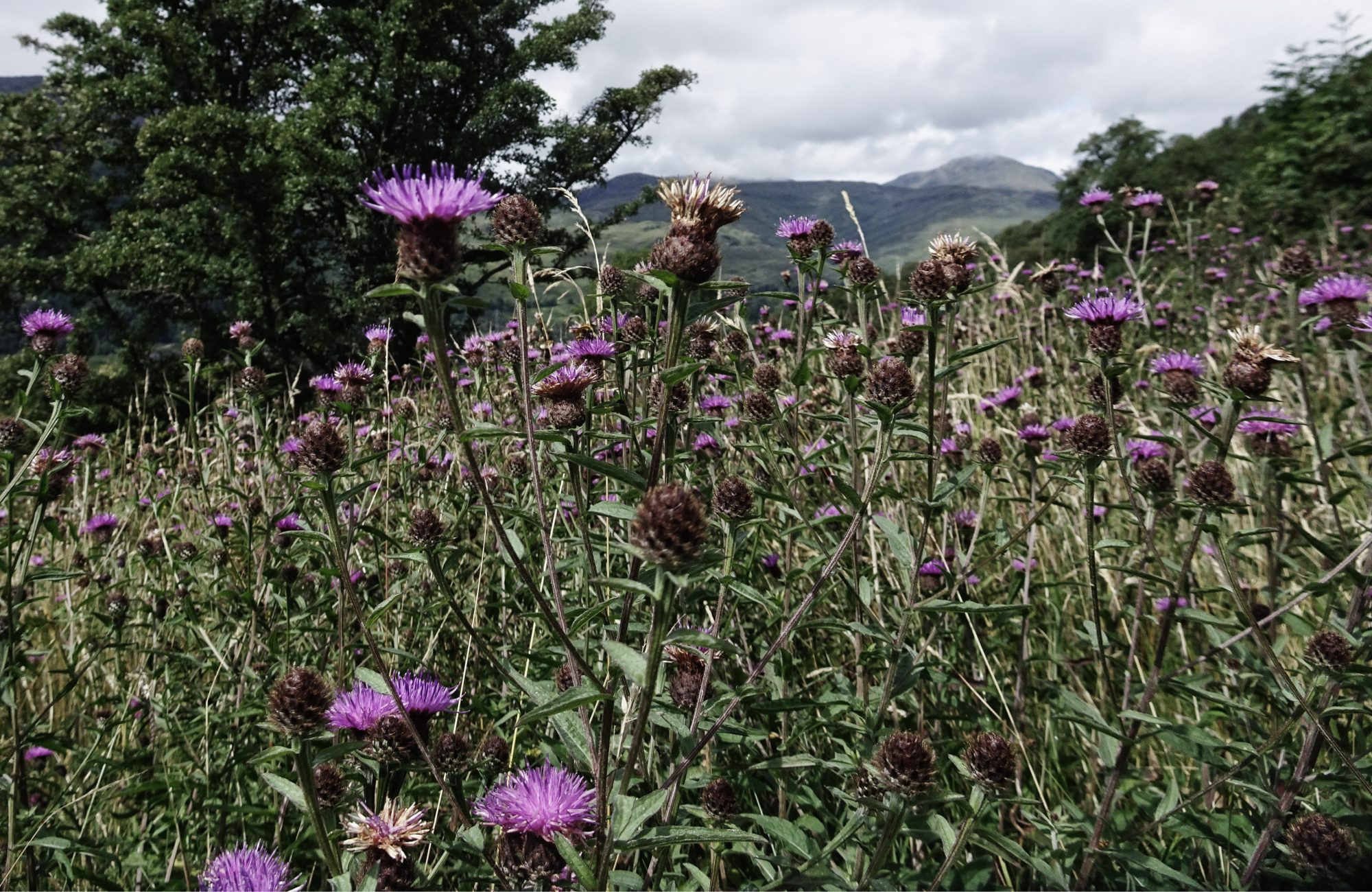 Die Distel, Nationalblume Schottlands , West Highland Way, Schottland, Wanderung, Weitwandern, Trekking, Highlands