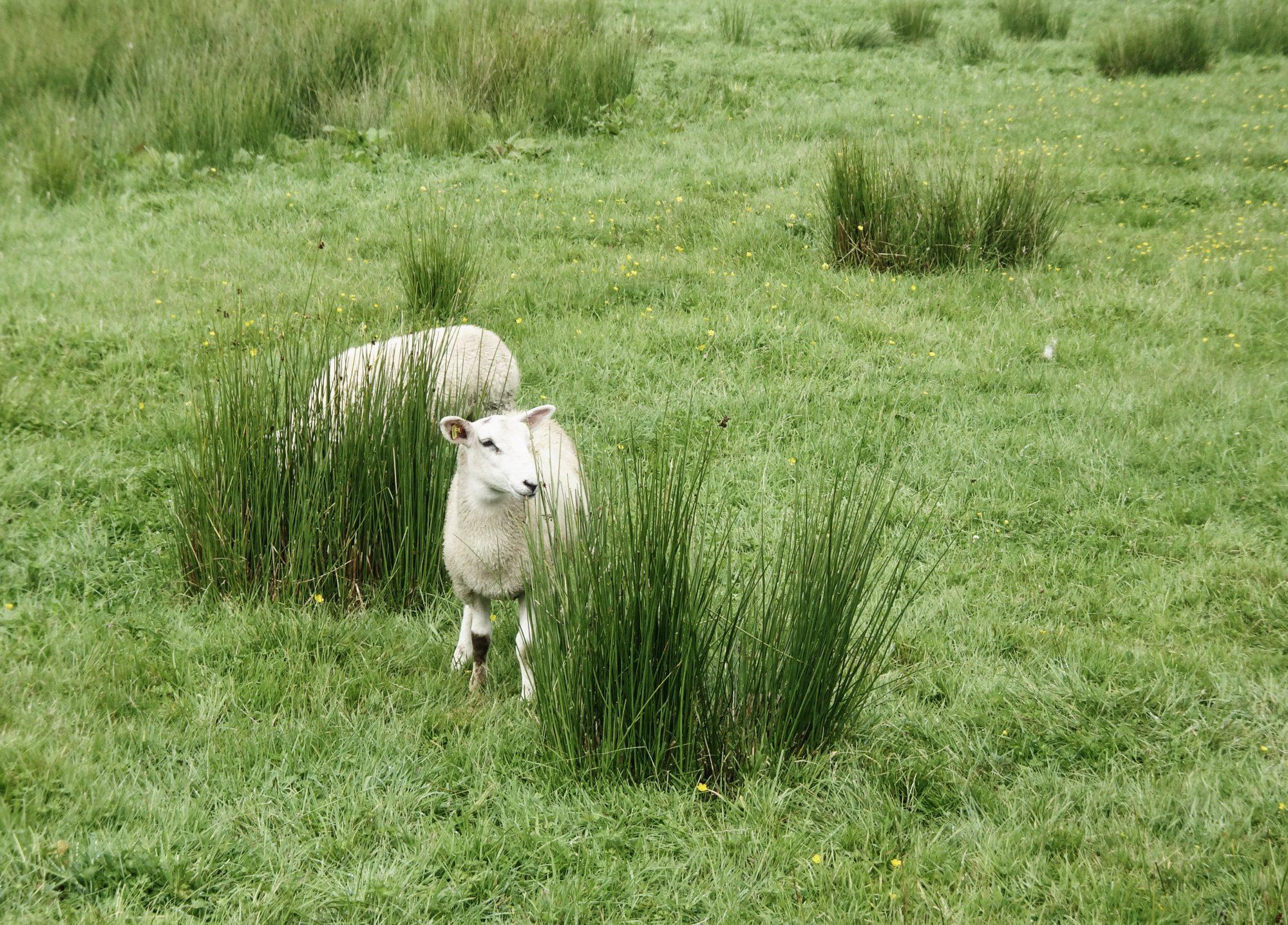 Schafe! West Highland Way, Schottland, Wanderung, Weitwandern, Trekking, Highlands