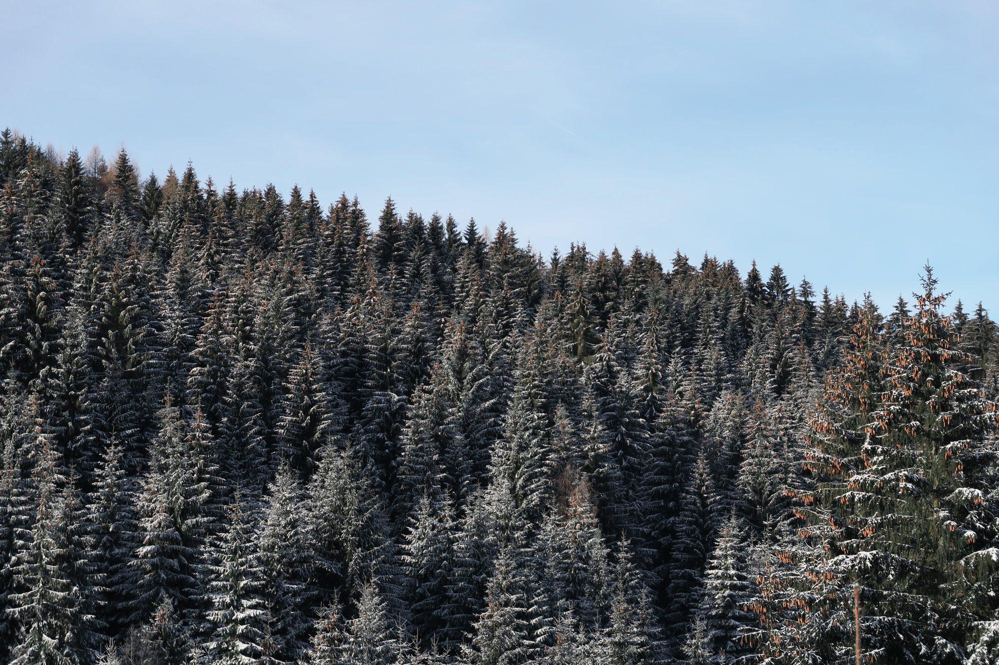 Verschneiter Wald beim Winterwandern im Vogtland, Felsenweg, Grünbach