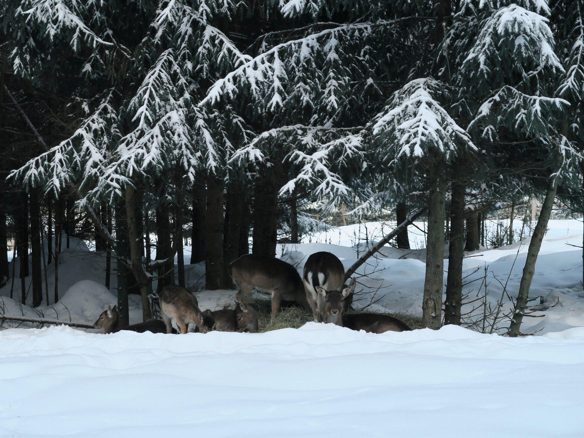 Rehe,  Winterwandern im Vogtland, Felsenweg, Grünbach