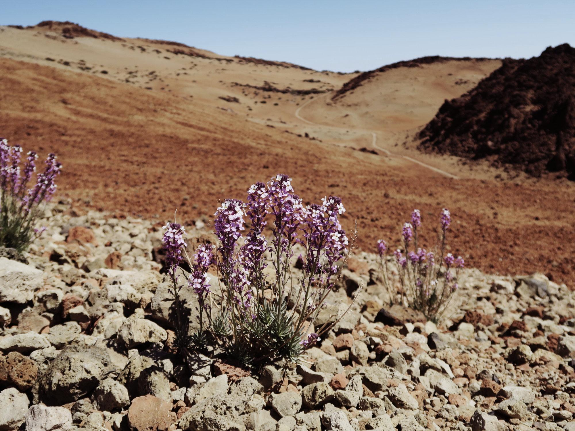 Teide Veilchen, Montana Blanca Wanderung