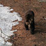 Braunbär, Bär im Tierfreigehege Nationalpark Bayerischer Wald, Nationalparkzentrum Lusen