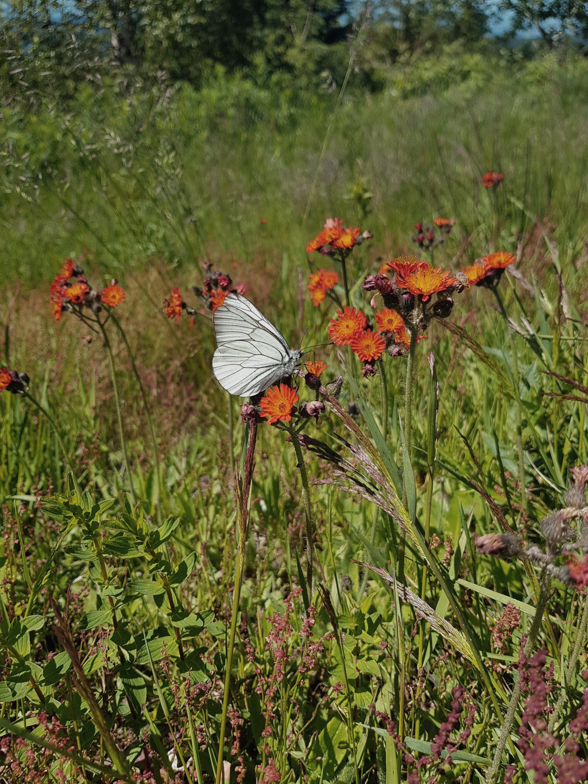 Schmetterling im Schwarzwald