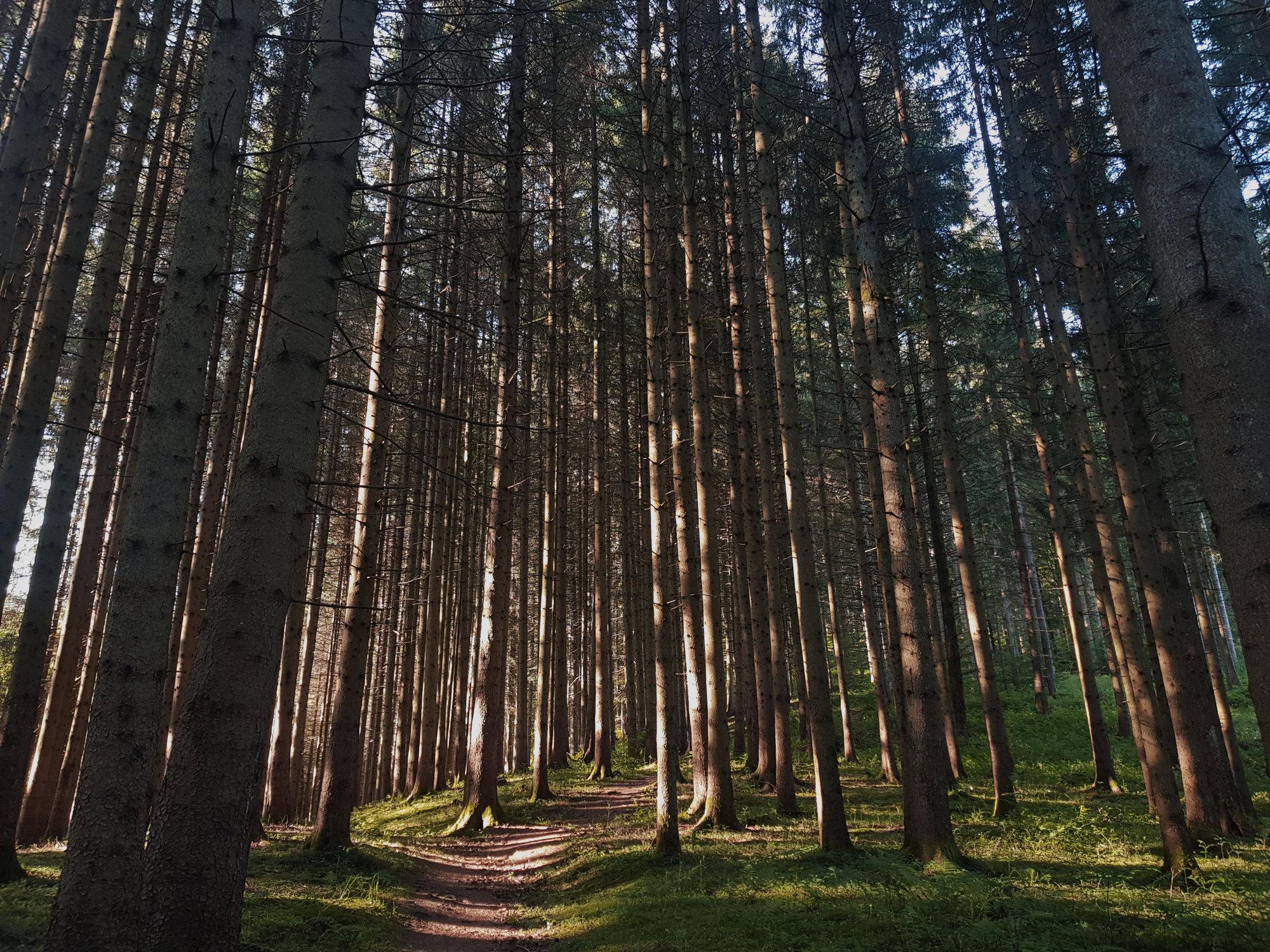 Trekking im Schwarzwald, leuchtender Wald mit Sonne