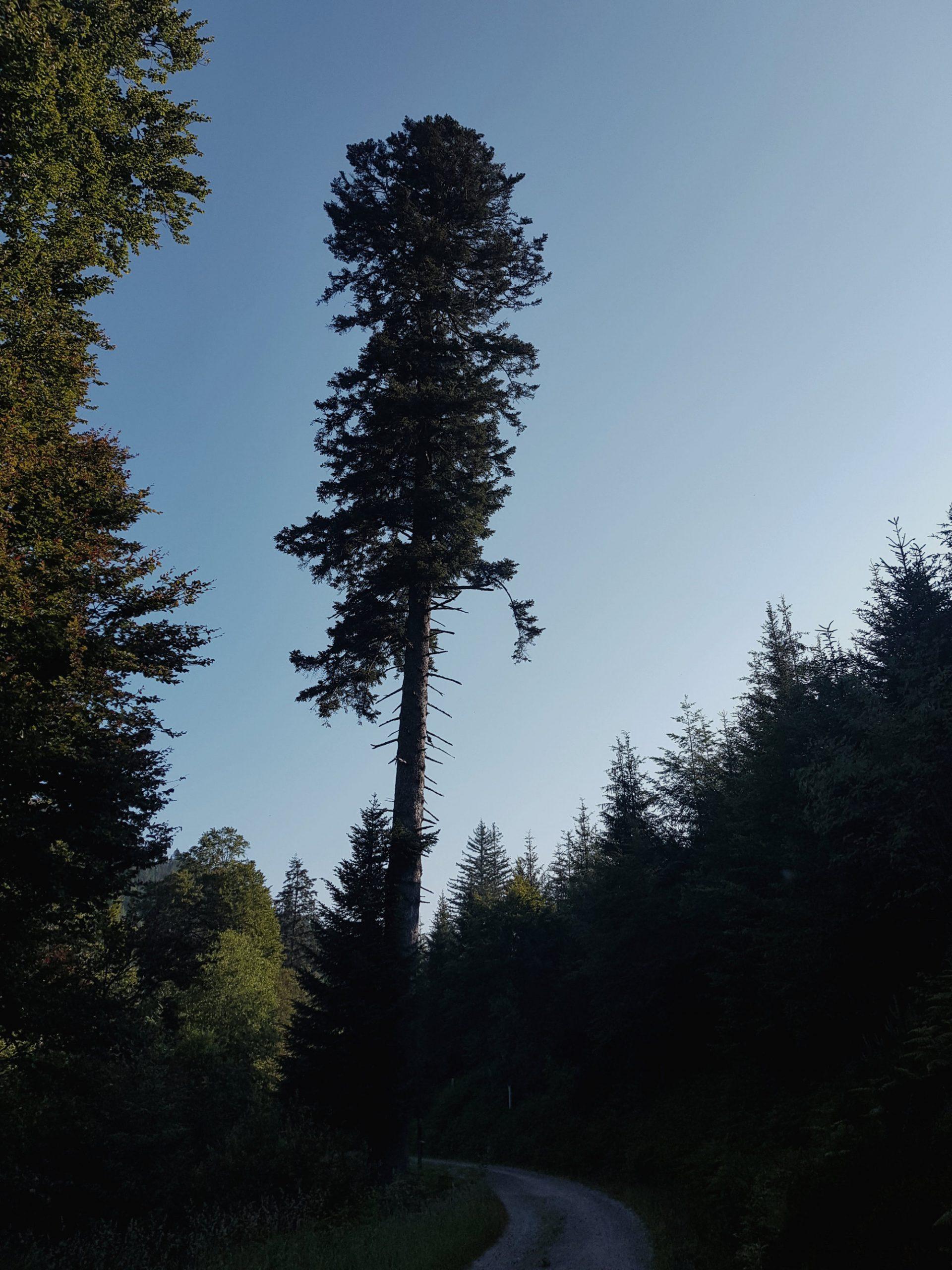 Ellbachtanne im Schwarzwald