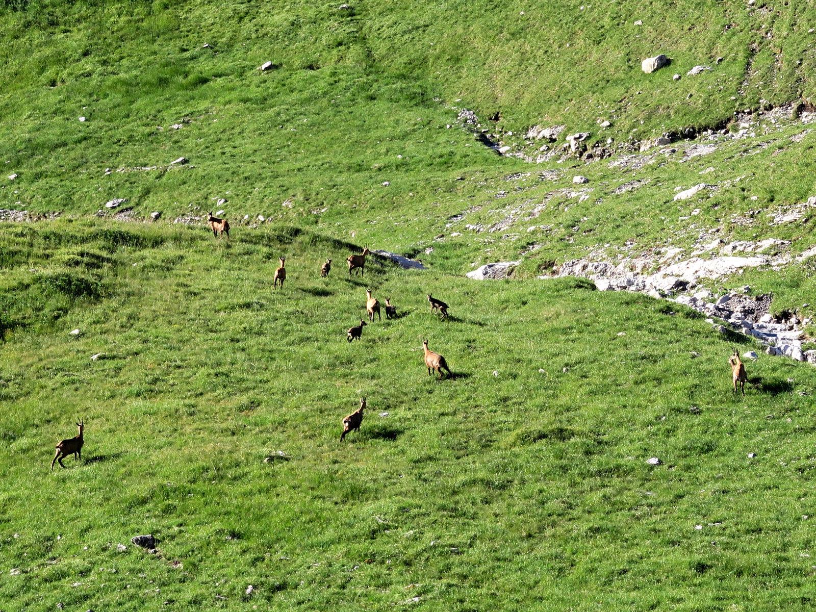 Eine Horde Gämse bei der Hüttentour zum Schrecksee